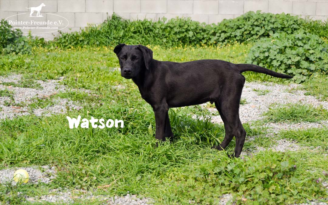 (Dr.) WATSON, Lab-Mix, born 10/2018