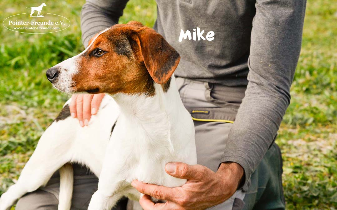 MIKE, BEAGLE-Terrier-Mix, geb. 10/2018