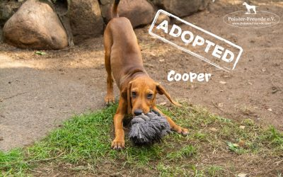 (Deutsch) COOPER, Jura-Mix, geb. 04.2019