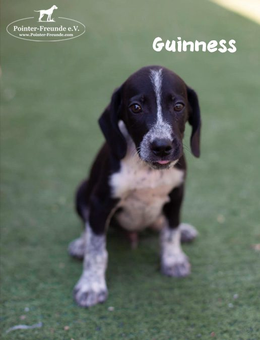 RESERVED: GUINNESS, Pointer-Mix, born 05/2019