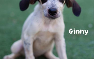 RESERVED: GINNY, Pointer-Mix, born 05/2019