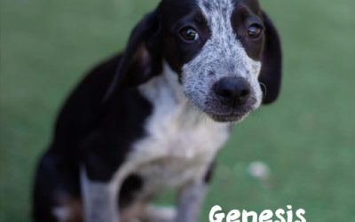 RESERVED: GENESIS, Pointer-Mix, born 05/2019