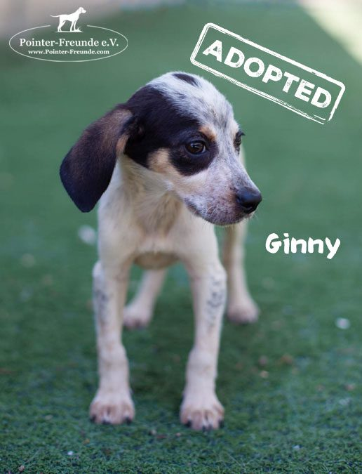 GINNY, Pointer-Mix, geb. 05/2019
