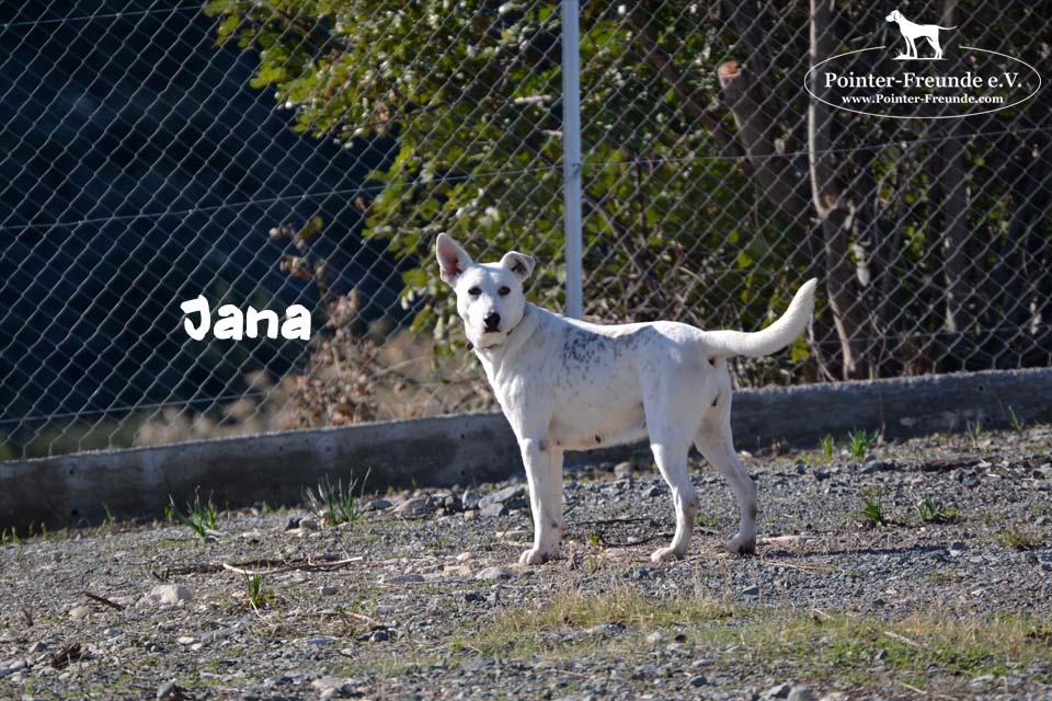 JANA, Pointer-Schäferhund-Mix, geb. ca. 2013