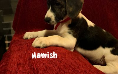 RESERVIERT: HAMISH, Pointer-Mix, geb. 10/2019