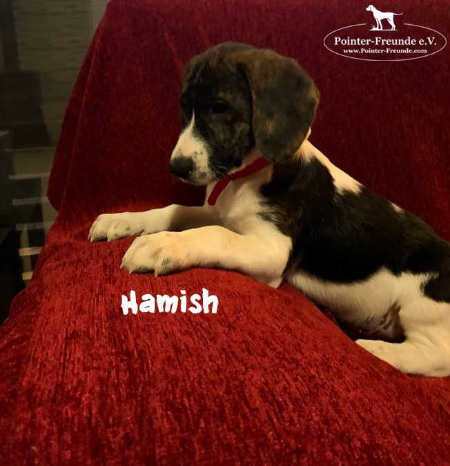 RESERVED: HAMISH, Pointer-Mix, born 10/2019