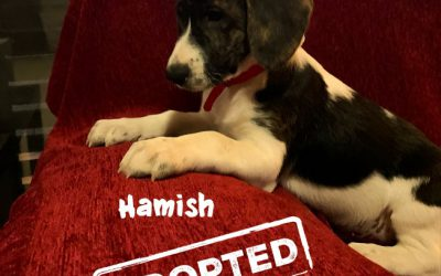 HAMISH, Pointer-Mix, geb. 10/2019