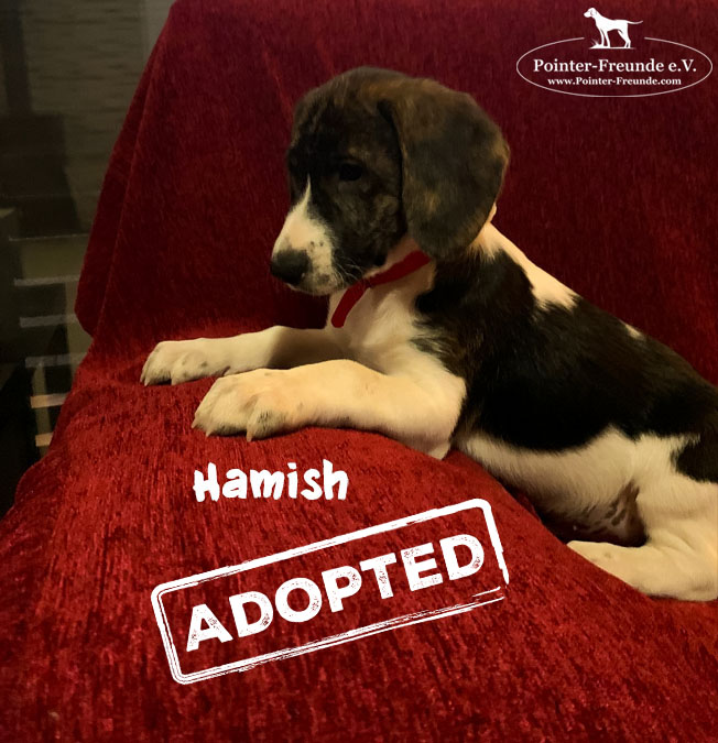 HAMISH, Pointer-Mix, born 10/2019