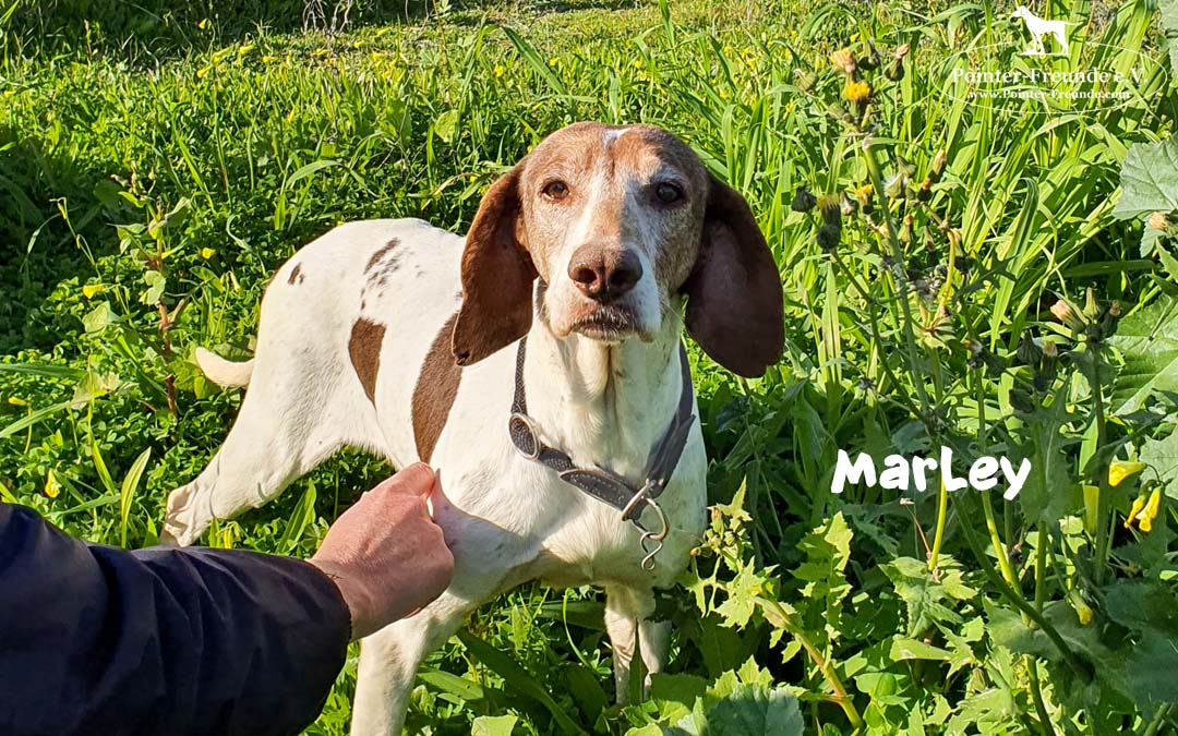 MARLEY, Pointer-Mix, born appr. 2010