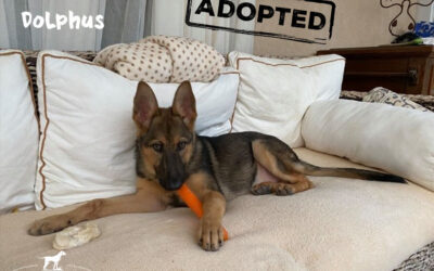 DOLPHUS, German Sheperd, born end of 07/2020