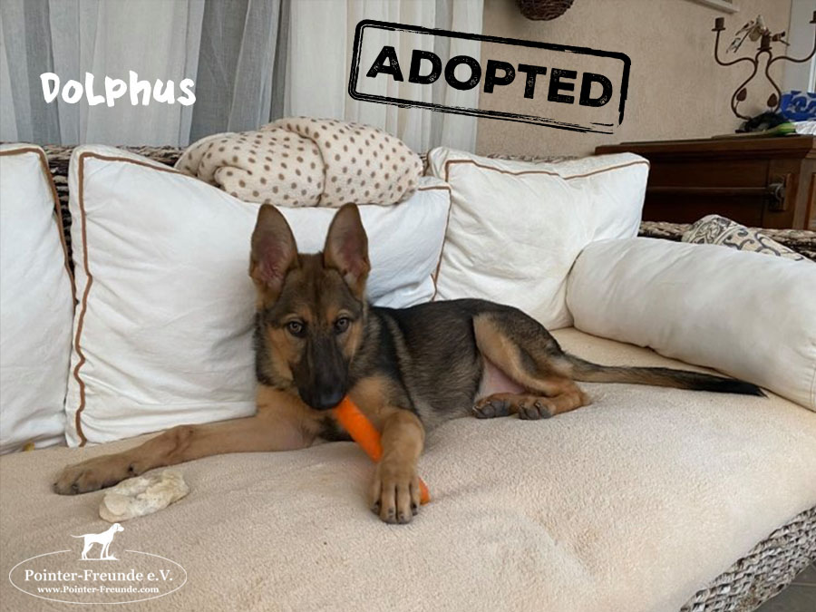 DOLPHUS, German Sheperd, born end of 07/2020